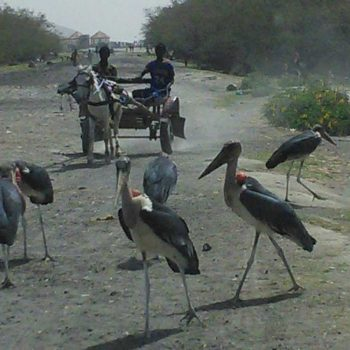 אווסה-ציפורים