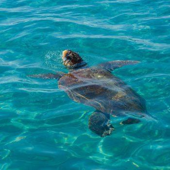 צבי ים באי זקינטוס